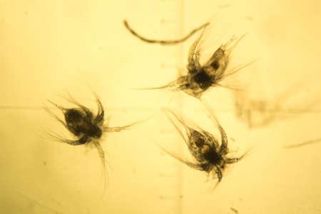 rhodium: Some worms from arctic sea under microscope. Daphnia. Stock Photo