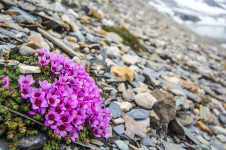 Arctic winter in the south of Spitsbergen. Saxifrage.