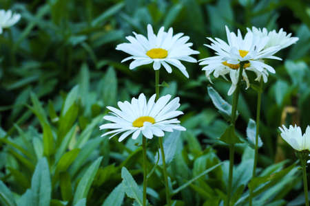 White flowers with a yellow heart and green leaves. Chamomile in the field. Macro photography of flowers and plants.