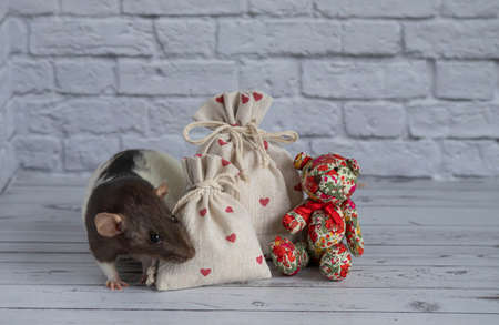 A decorative black and white cute rat sniffs a cloth bag containing goodies. Valentine's Day gift. A rag red teddy bear toy sits nearby. close-up rodent. Imagens