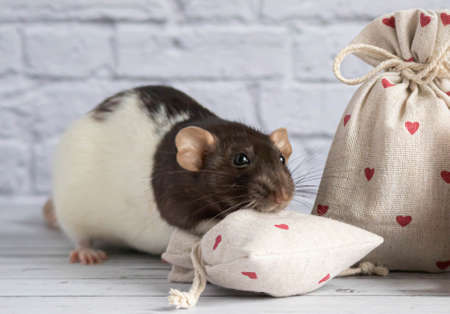 A decorative black and white cute rat sniffs a cloth bag containing goodies. Valentine's Day gift. A rag red teddy bear toy sits nearby. close-up rodent.