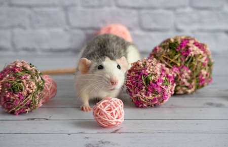 Decorative black and white cute rat sits next to a flower pink ball for florists. Close-up a rodent against a white brick wall.