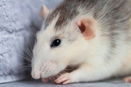 Cute decorative black and white rat. Close-up portrait of a rodent on a light background