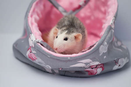 A cute little rat sits in a beautiful soft fabric bed. Pink background