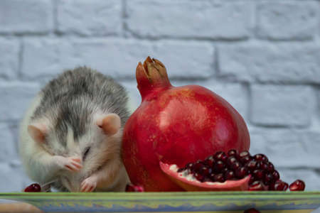 A cute decorative black and white rat sits and eats a ripe, juicy red pomegranate fruit. Close-up of a rodent on a yellow plate