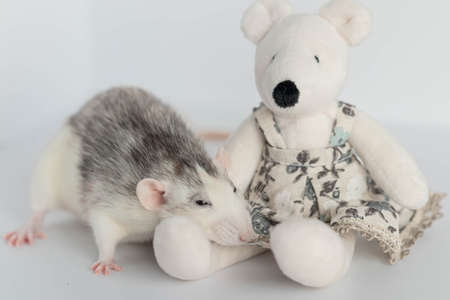 A cute decorative black and white rat sits next to a plush rat doll. Concept: year of the rat according to the Eastern calendar. Rat toy