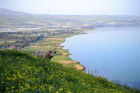 Cow at the sea of Galilee Kinneret lake from Mt. Arbel mountain, beautiful lake landscape, Israel, Tiberias