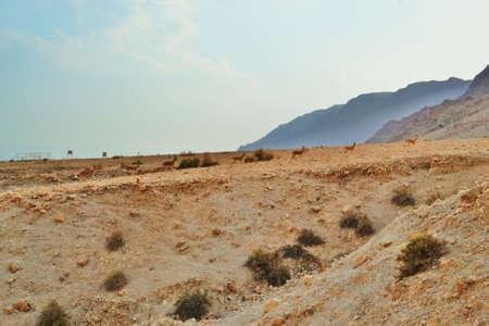 Gazelles running at Qumran caves in Qumran National Park, Judean desert hike, Israel