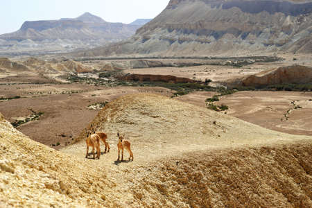 Young baby Nubian ibex in Negev desert, Nahal Tzin and Ein Avedat by Sde Boker in Southern Israel