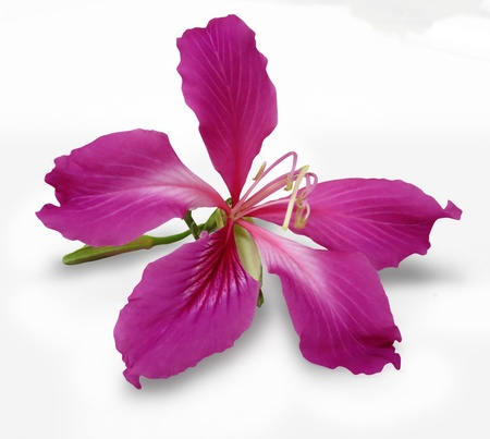 Bauhinia flower isolated on white background Stock Photo