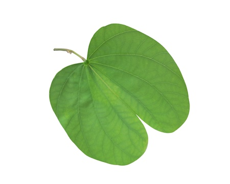 Bauhinia leaf Stock Photo