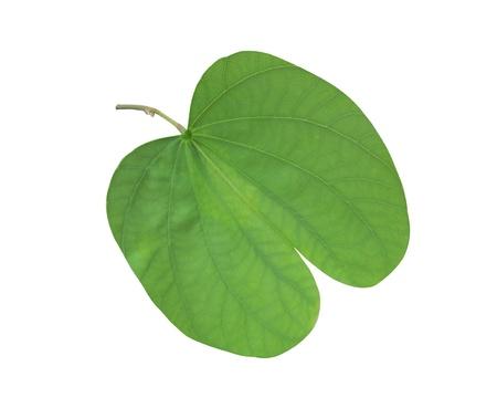 Bauhinia leaf Imagens