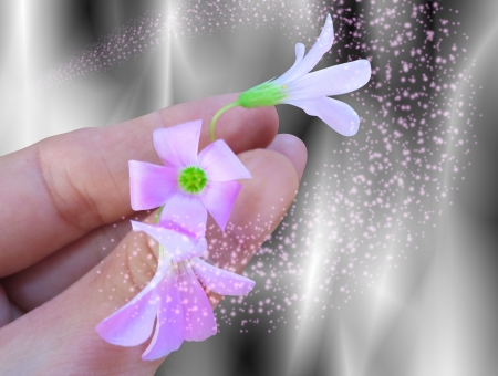 Oxalis triangularis flowers in hand Stock Photo - 18341087
