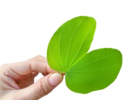 Bauhinia leaf in woman hand