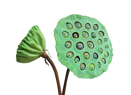 nelumbo: Green Nelumbo
