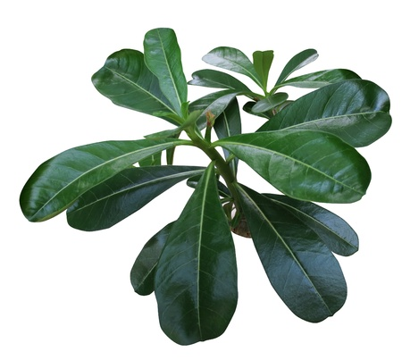 adenium: Adenium leaf Stock Photo