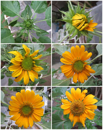 Sunflower Stages photo