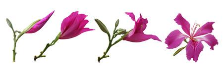 Bauhinia Blumen - Stadien des Wachstums Standard-Bild