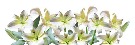 lirio blanco: Lirio blanco
