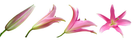 Stages of growth - Lily flower isolated on white background