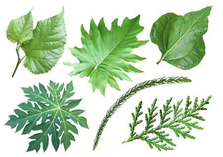 papaya tree: Collection of green leaf