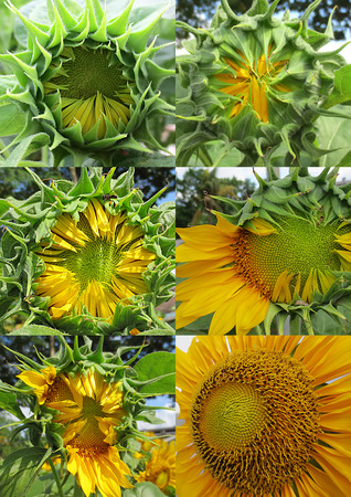 spring time: Sunflower Stages