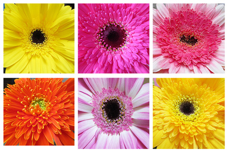 Beautiful Gerbera flowers collage- Flower collection photo