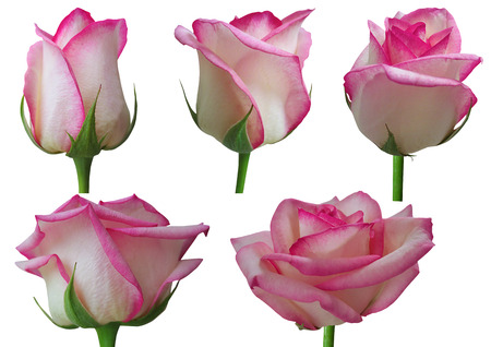 Rose growth stages-Time-lapse sequence of a rose opening