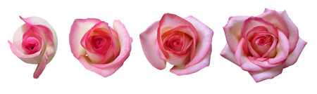 Rose growth stages isolated on white background