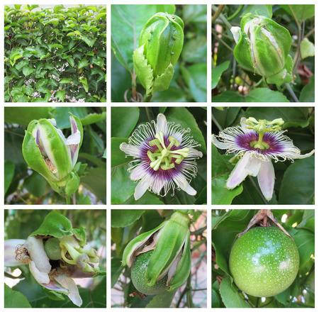 pasion: Pasión Imágenes frutales para las etapas de crecimiento de fruta de la pasión Foto de archivo