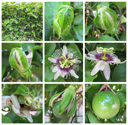 time lapse: Passion fruit- Images for passion fruit stages of growth Stock Photo