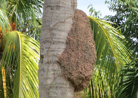 trunk: Bee hive on the coconut palm tree