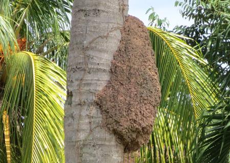 tronco: Colmena de la abeja de la palmera del coco Foto de archivo