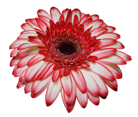 Two colors gerbera isolated in white with clipping path 写真素材