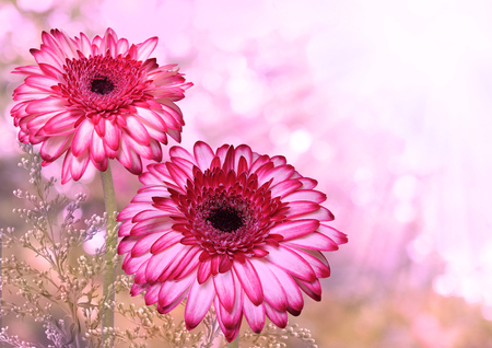 Beautiful romantic background with gerbera flowers and place for text