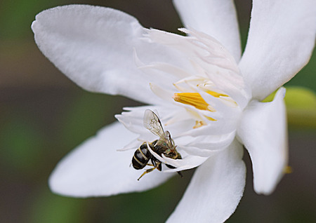 Bee on a Snowflake flower -wrightia antidysenterica flower-Closeup-
