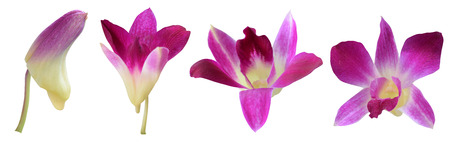 Stages of growth Orchid flower