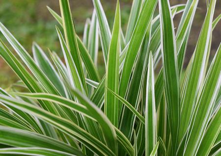 Green leaves of Spider plant ,Chlorophytum Comosum or Chlorophytum bichetii