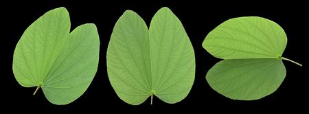 Three bauhinia green leaf on black background 写真素材
