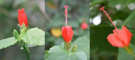 Red Mini Hibiscus-Three stages of growth mini hibiscus flower