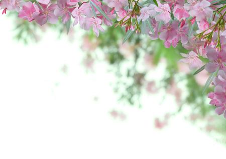 Pink oleander flower background Stock Photo