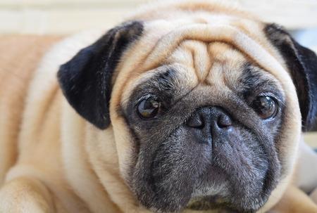 Closeup of a cute Pug dog looking at camera