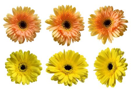 Six beautiful gerbera flowers isolated on white Stock Photo