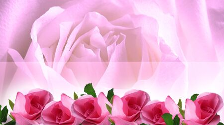 Beautiful pink roses with space for your text