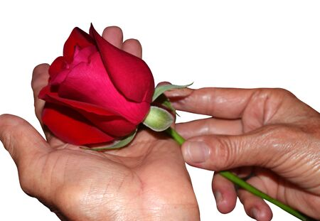 Mothers hands with rose- Happy mothers day Stock Photo