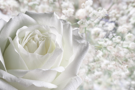 White rose with romantic background