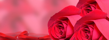 Beautiful red roses with petals and place for text