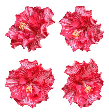 Four multi-colored hibiscus flowers isolated on white background 写真素材