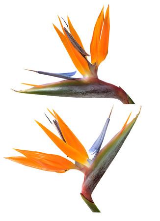Bird of Paradise flowers isolated over white