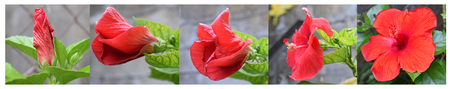 hibiscus flowers: Hibiscus flower stages- Five stages of growth red hibiscus flower Stock Photo